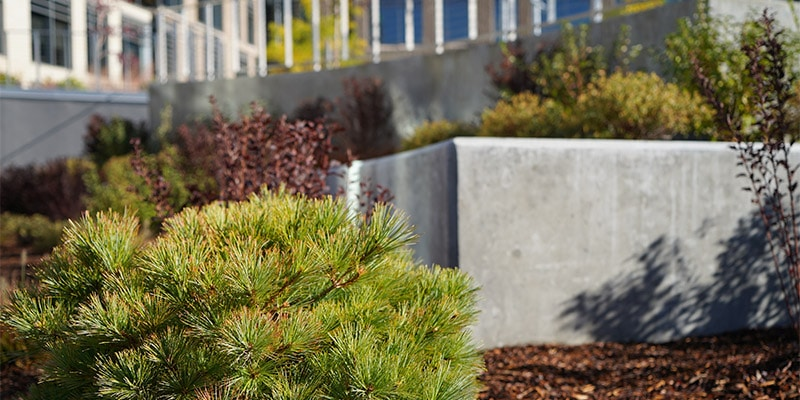 Close up of evergreen bushes in flower bed planers.